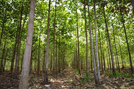 Teak forests to the environment photo