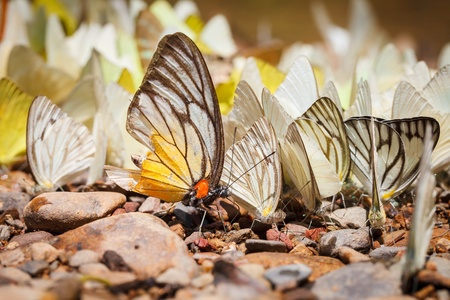 Many pieridae butterflies gathering water on floor, kaeng krachan national park, thailand photo