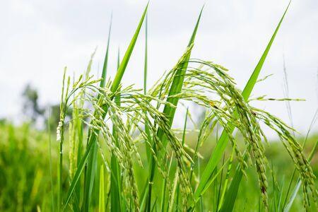 paddy fields: Paddy rice field Stock Photo
