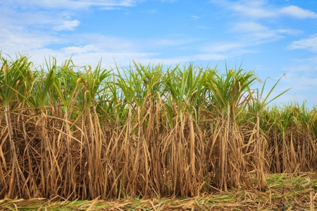 Sugar cane field in blue sky photo