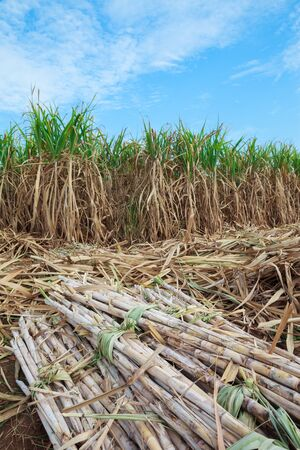 Time of harvesting sugar cane crop photo