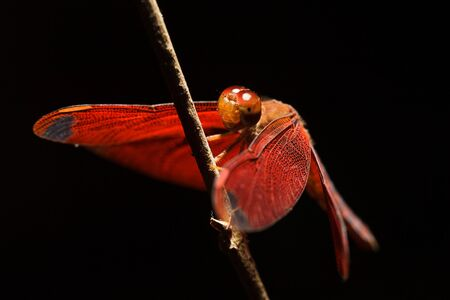 trithemis: Closeup red dragonfly