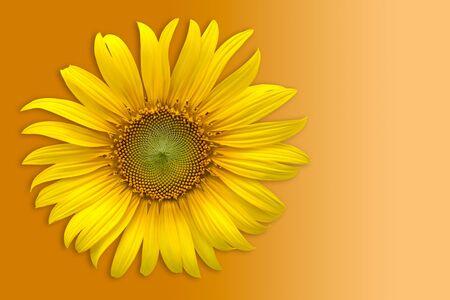 Sunflower over orange background  photo