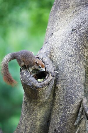 Closeup tree shrew, Small mammals native to the tropical forests photo