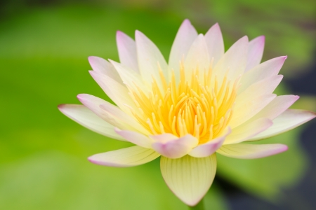 alba: Water lily  Nymphaea alba  in the pond Stock Photo
