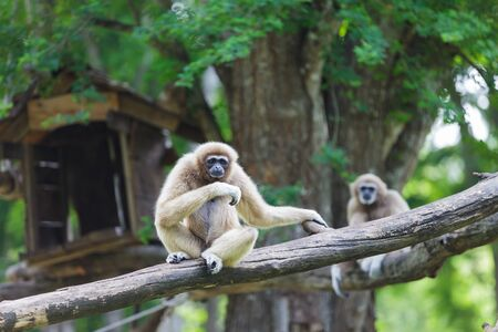 hominid: White hand gibbon at zoo