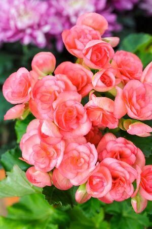 begonia: Closeup pink begonia flowers Stock Photo