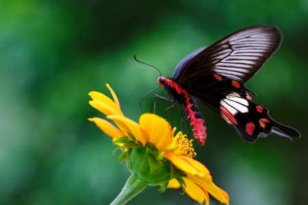 Closeup Butterfly on Flower  Common Rose  photo