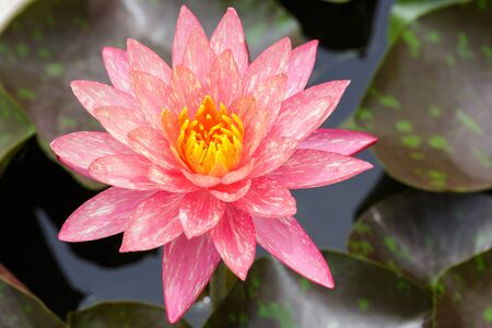 Top view of Beautiful Pink Lotus in pond photo