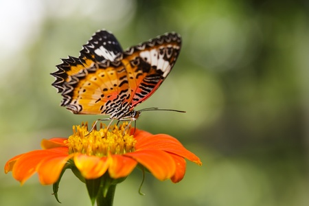 Closeup Butterfly on Flower The Malay Lacewing