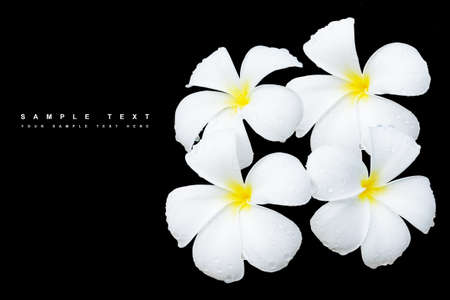 hawaiian lei: White Frangipani flower with water drops, Isolated on black background