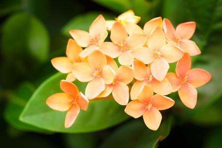 Closeup Ixora orange flower photo