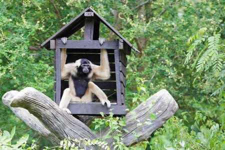 White Cheeked Gibbon or Lar Gibbon with Family photo