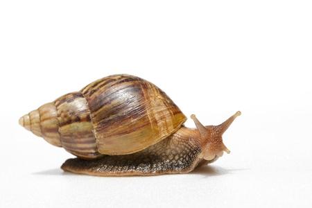 one object: Snail  Amphidromus