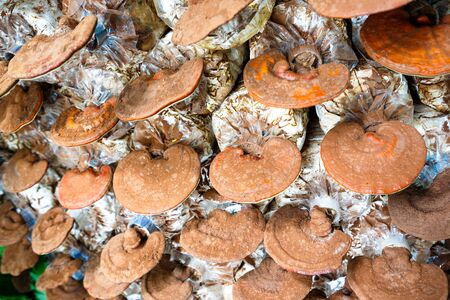 Closeup Lingzhi mushrooms at Mushroom Farm photo