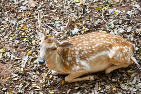 Closeup Young Fallow Deer photo