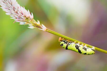 Green caterpillar  Common Mormon  photo