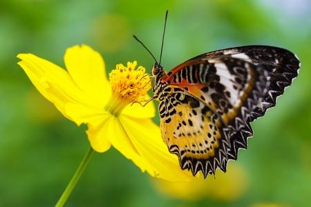 chrysope: Gros plan sur les fleurs Papillon La chrysope malais