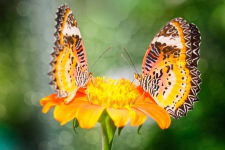 chrysope: Gros plan sur la fleur papillon Deux La chrysope malais