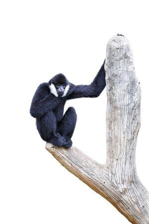 gibbon: Hoolock gibbon