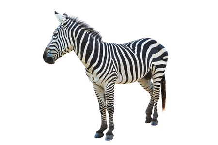 burchell: Zebra isolated on white background Stock Photo