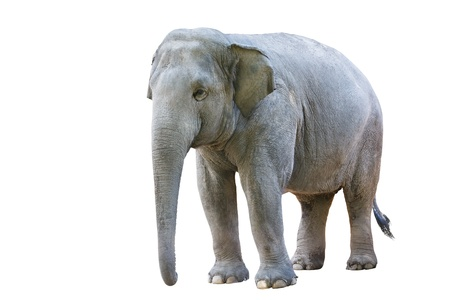 Asian elephant female, Isolated on white background photo