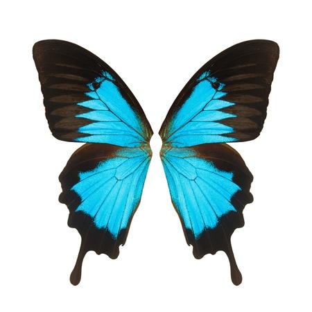mariposa azul: Mariposa de alas, aislado en fondo blanco Foto de archivo