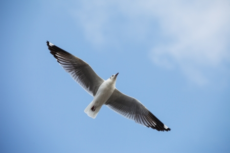 air animals: Flying seagull in action