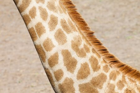 Closeup a neck of a giraffe photo