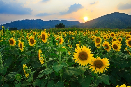 Sunflower field with sunset photo