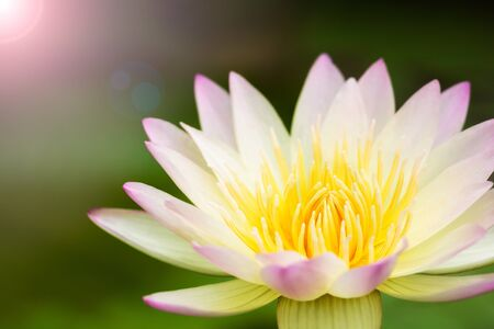 Lotus flower background Stock Photo - 17048696