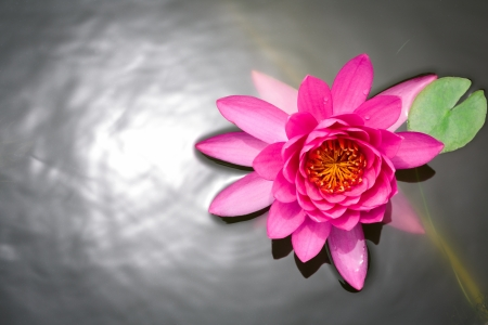 Pink lotus flower blossom in the pool