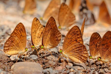 pieridae: Many pieridae butterflies gathering water on floor, kaeng krachan national park, thailand