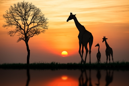field sunset: Silhouette of giraffe with reflection in water