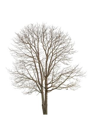 Simple arbre vieux et mort, isolé sur blanc