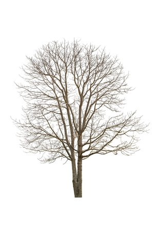 solitary tree: Single old and dead tree, Isolated on white Stock Photo