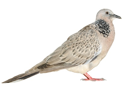A free dove, Isolated on a white photo