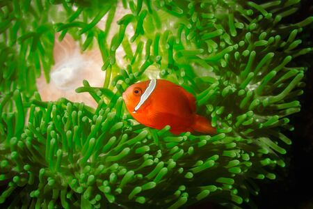 A Spinecheek Anemonefish, also known as a Maroon Clownfish photo