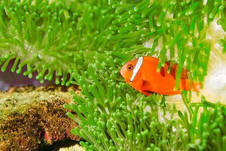 A Spinecheek Anemonefish, also known as a Maroon Clownfish Stock Photo - 19485894
