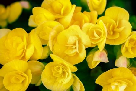 begonia: Closeup yellow begonia flowers