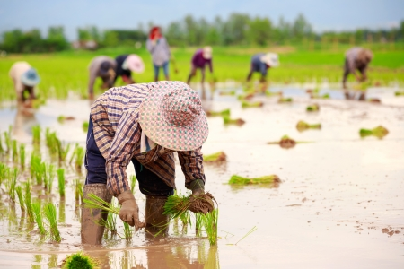 Asian farmers working on rice filed photo
