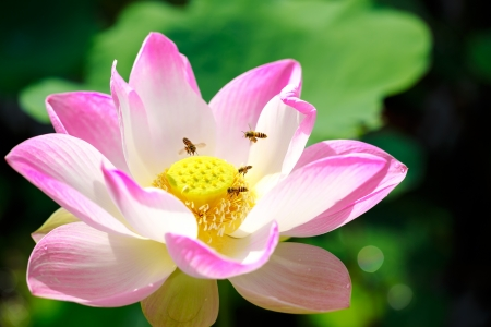Bee with pink lotus in the pond photo