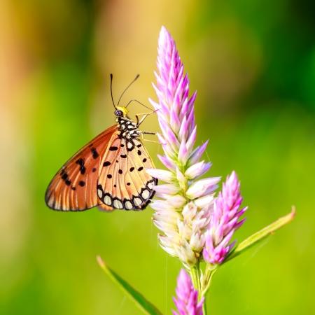 mariposas amarillas: Primer plano de la mariposa en la flor Foto de archivo