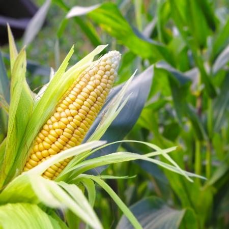 Maíz Primer en el tallo en el campo de maíz