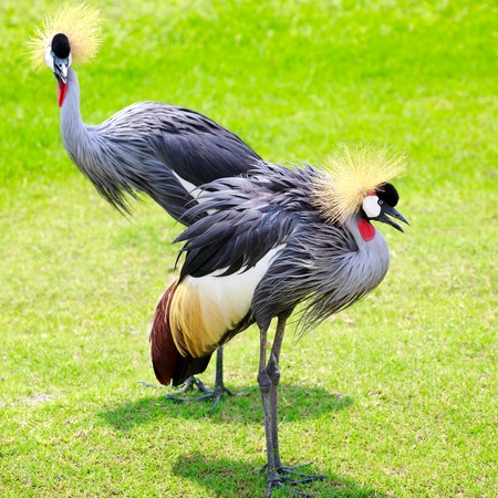 mating colors: Closeup two grey crowned crane on green grass