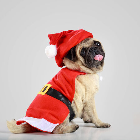 Cute pug puppy wearing a santa claus costume, Isolated on grey background photo