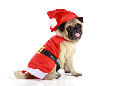 Cute pug puppy wearing a santa claus costume, Isolated over white photo
