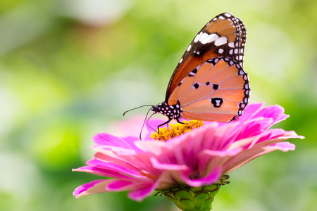 Closeup butterfly on flower  Common tiger butterfly