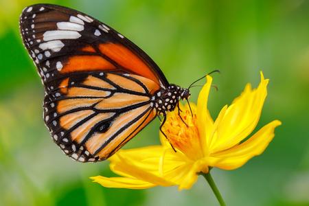 Close-up vlinder op bloem Gemeenschappelijke tijgervlinder Stockfoto