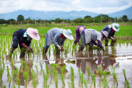 filed: Asian farmers working on rice filed